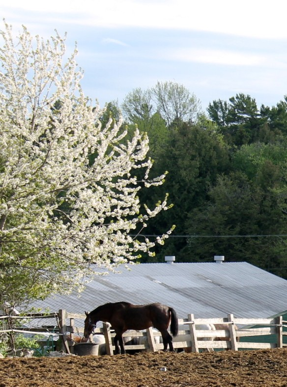 The corral was full of horses, but I liked the way this one looked standing alone under a beautiful white-blooming tree.