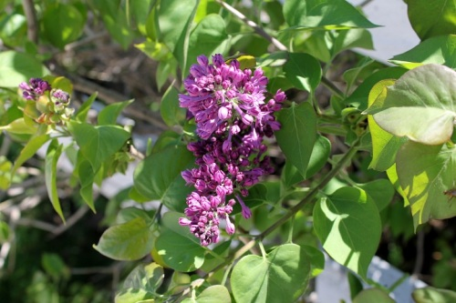 The first lilacs of the season bloomed . . .