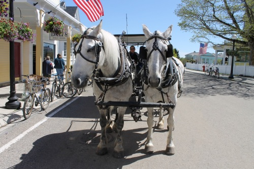 The really awesome thing about Mackinac is that no one really thinks about actually setting dates or appointments to see anyone.  You just know if you step outside, you will eventually see everyone you know . . . like Molly and her new team of greys, Dawn and Chico!