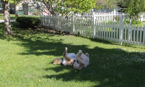 Bear's favorite grass to roll in?  Horse poop fertilized Mackinac grass, of course!