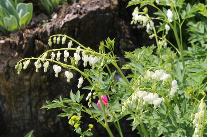 White bleeding hearts.  Don't think I've seen these before - only the red.