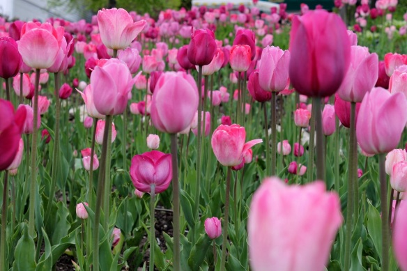 Mission Point is a riot of pink tulips!  I just stuck my camera into the middle of them and click the shutter.