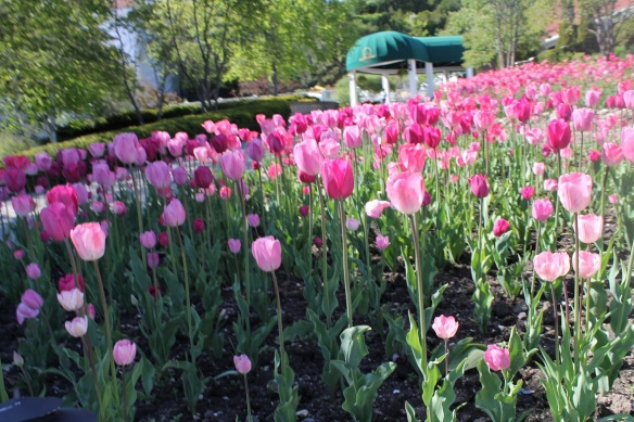 There were no tulips at the Grand Hotel this spring, but Mission Point more than made up for it.  I fell in love with their endless gardens of tulips - all pink!