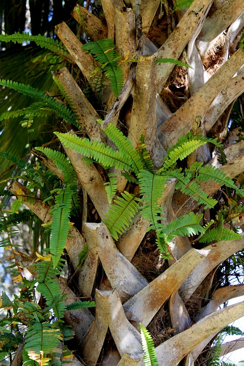Seriously now, where else could you find ferns growing in the trunks of palm trees in the middle of December!?