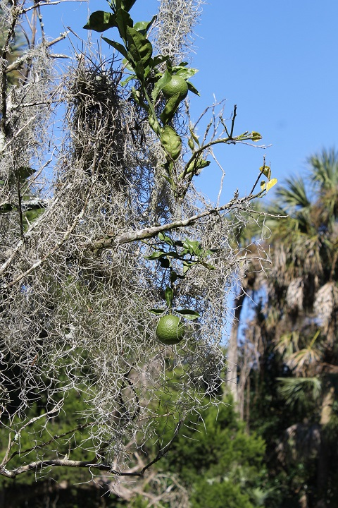 In approximately the center of the park is a citrus garden, with limes . . .