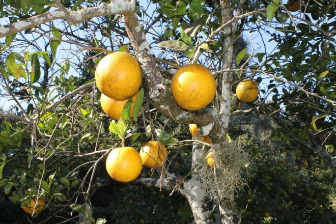 . . . and grapefruits growing side by side.